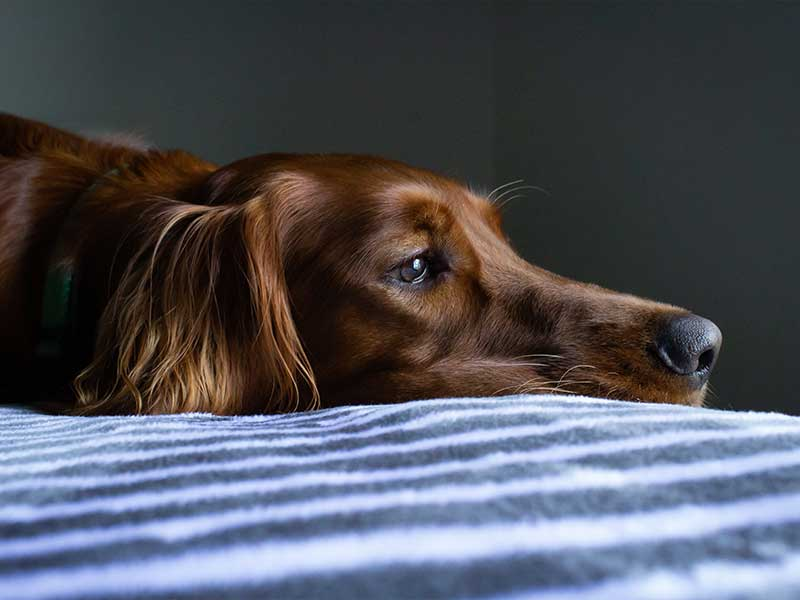 Everything You Need to Know About Putting Your Dog Down